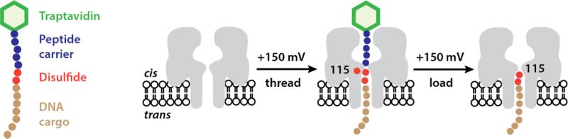 molecules that hop fig3